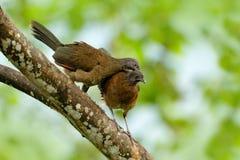 Paires de chachalaca chachalaca, cinereiceps à tête grise d'Ortalis, amour d'oiseau, oiseau tropical exotique, habitat de nature  Photos stock