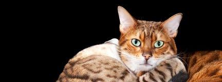 Paires de chatons du Bengale dans la caresse Image libre de droits