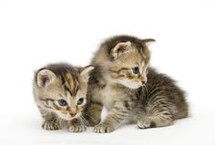 Paires de chatons sur le backgroun blanc Photo libre de droits