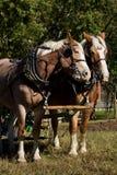 Paires de cheval photos stock