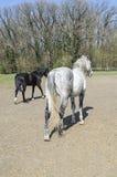 Paires de chevaux à la ferme d'animaux Image libre de droits