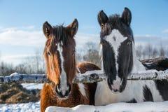 Paires de chevaux en hiver Image stock