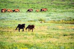 Paires de chevaux sauvages frôlant sur le pré d'été photographie stock