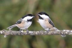 Paires de Chickadees sur un branchement Photo libre de droits