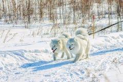 Paires de chiens blancs pelucheux de Samoyed dans le harnais portrai en gros plan Images libres de droits