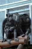 Paires de chimpanzés Image stock