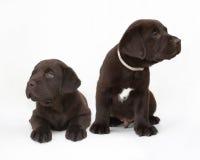 Paires de chiots de chien d'arrêt de Labrador de chocolat Image libre de droits