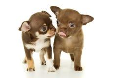 Paires de chiots de chiwawa de chiens Photos stock