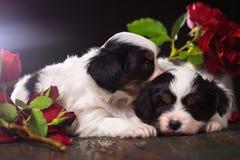 Paires de chiots en fleurs Photographie stock libre de droits