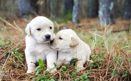 Paires de chiots de golden retriever image libre de droits