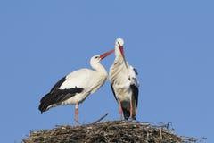 Paires de cigogne blanche Image libre de droits