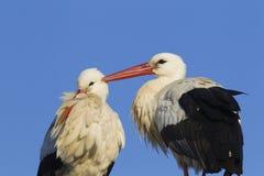 Paires de cigogne blanche Photo libre de droits
