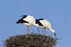 Paires de cigogne blanche Photos stock