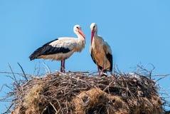 Paires de cigognes blanches au nid Photos libres de droits