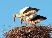 Paires de cigognes blanches ou de Ciconia de Ciconia avec le nid photo libre de droits