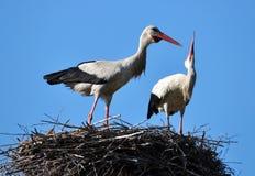 Paires de cigognes dans le nest_3 Image stock