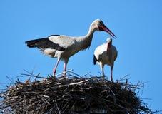 Paires de cigognes dans le nest_4 Images stock