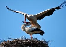 Paires de cigognes dans le nest_7 Image libre de droits