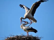 Paires de cigognes dans le nest_6 Photographie stock libre de droits