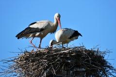 Paires de cigognes dans le nest_5 Images libres de droits