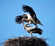 Paires de cigognes dans le nest_9 Photos stock