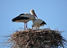 Paires de cigognes dans le nid Images libres de droits