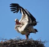 Paires de cigognes dans le nid Photo libre de droits