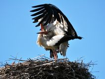 Paires de cigognes dans le nid Photo stock