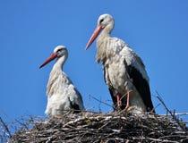 Paires de cigognes dans le nid Photographie stock libre de droits
