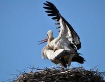 Paires de cigognes dans le nid Photos stock