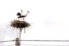Paires de cigognes dans le nid Photographie stock