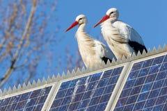 Paires de cigognes restant sur un panneau solaire Photos libres de droits