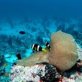Paires de clown Fishes près d'anémone images libres de droits