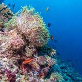 Paires de clown Fishes près d'anémone photos libres de droits