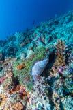 Paires de clown Fishes près d'anémone photos stock