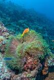 Paires de clown Fishes près d'anémone Image libre de droits