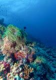 Paires de clown Fishes près d'anémone Images stock
