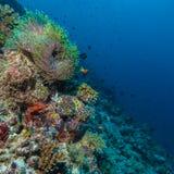 Paires de clown Fishes près d'anémone photographie stock libre de droits