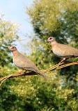 Paires de colombe Photographie stock