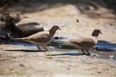 Paires de colombes photos stock