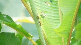 Paires de crickets sur une feuille verte avec des trous Images libres de droits