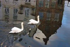 Paires de cygnes blancs dans le canal avec la réflexion de bâtiments historiques dans l'eau Images stock