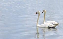 Paires de cygnes, nageant côte à côte Image libre de droits