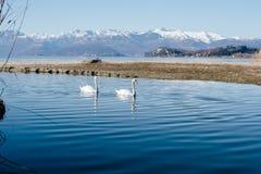 paires de cygnes nageant paisiblement le long de la rivière Photo libre de droits