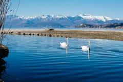 paires de cygnes nageant paisiblement le long de la rivière Images libres de droits