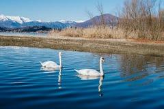 paires de cygnes nageant paisiblement le long de la rivière Photographie stock