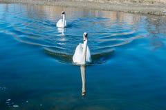 paires de cygnes nageant paisiblement le long de la rivière Photographie stock libre de droits