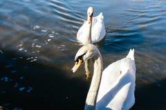 paires de cygnes nageant paisiblement le long de la rivière Image stock