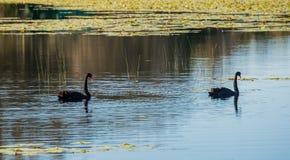 Paires de cygnes noirs Photographie stock