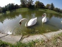 Paires de cygnes sur le lac Image libre de droits